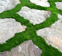 Green Irish Moss Picture