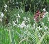 Wand Flower Guara