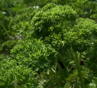 Curled Parsley Picture