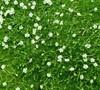 Green Irish Moss Picture