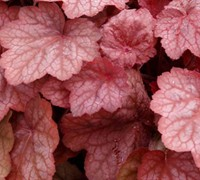 Georgia Peach Heuchera Picture