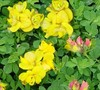 Lotus Corniculata Plenus
