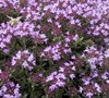 Creeping Thyme