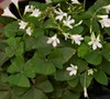 Irish White Shamrock Oxalis