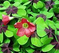 Iron Cross Shamrock Oxalis Picture