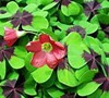 Iron Cross Shamrock Oxalis