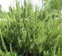 Athen's Blue Spires Rosemary Picture