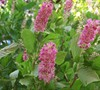 Ruby Spice Clethra