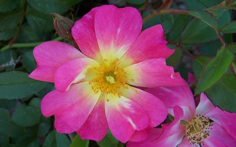 Pink Drift Rose Picture