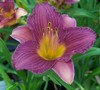 Purple De Oro Daylily