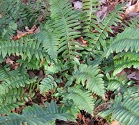 Christmas Fern Picture