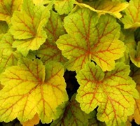 Electra Heuchera Picture
