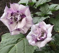 Double Purple Angel Trumpet Picture