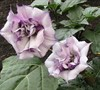 Double Purple Angel Trumpet