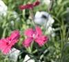 Newport Pink Dianthus