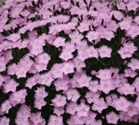Bath's Pink Dianthus Picture