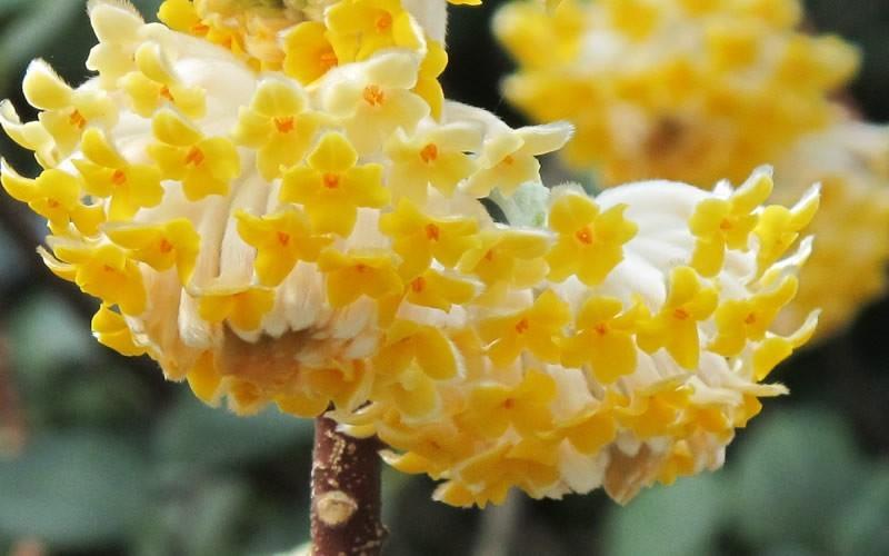 Edgeworthia Picture