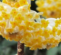 Edgeworthia Picture