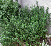 English Thyme  Picture