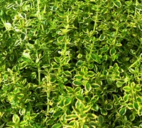 Variegated Lemon Thyme Picture