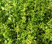 Variegated Lemon Thyme