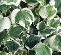 Variegated Algerian Ivy Picture