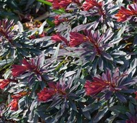 Ruby Glow Euphorbia Picture