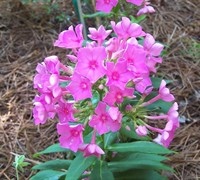 Pink Flame  Phlox Picture