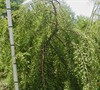 Cascade Falls Weeping Bald Cypress