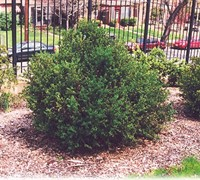 Green Gem Boxwood Picture