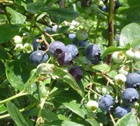 Jersey Blueberry Picture