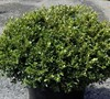Jims True Spreader Boxwood