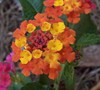 Confetti Lantana