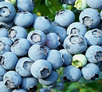 Powder Blue Blueberry Picture
