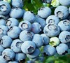 Powder Blue Blueberry