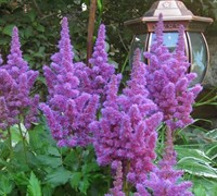Amethyst Astilbe Picture