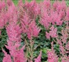 Vision In Pink Astlibe