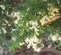 Snowkist False Hinoki Cypress Picture