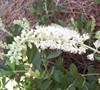 Hummingbird Clethra
