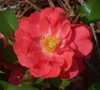 Coral Drift Rose Picture
