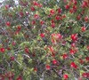 Happy Valley Bottle Brush