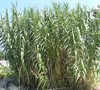 Giant Reed Grass