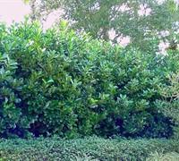 Awabuki Viburnum Picture