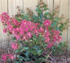 Strawberry Dazzle Crape Myrtle