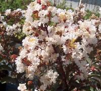 Burgundy Cotton Crape Myrtle Picture