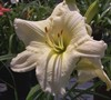 Joan Senior Daylily Picture