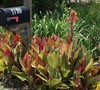Tropicana Canna Lily Picture