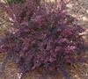 Rose Glow Barberry Picture