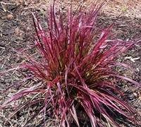 Fireworks Variegated Fountain Grass Picture