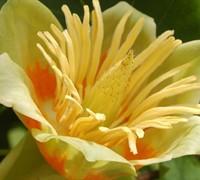 Tulip Poplar Picture